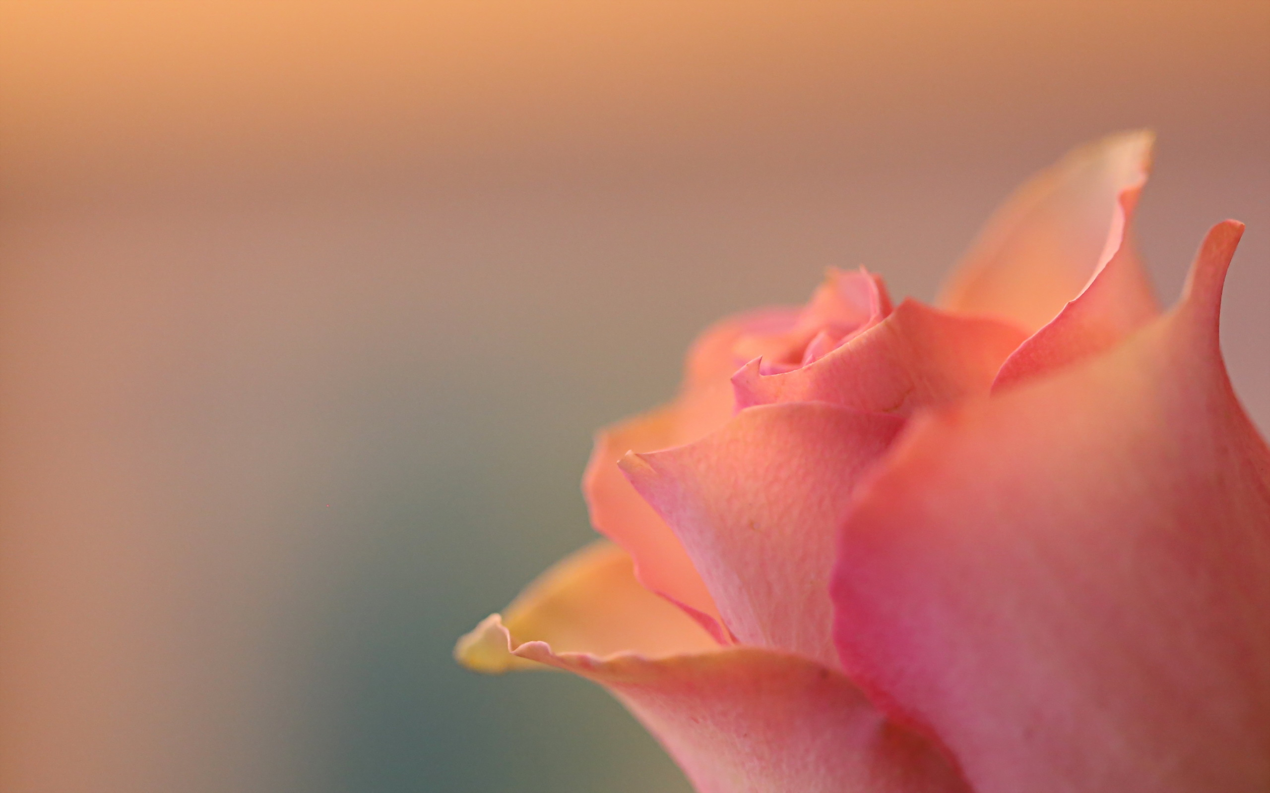 beautiful-pink-rose-android-wallpaper