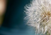 dandelion wallpaper for Android