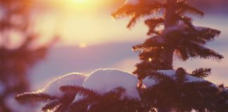 Alpine Tree filled with snow